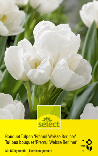 Bouquet Tulpen 'Premul Weisse Berliner'