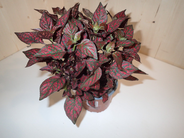 Hypoestes rot
