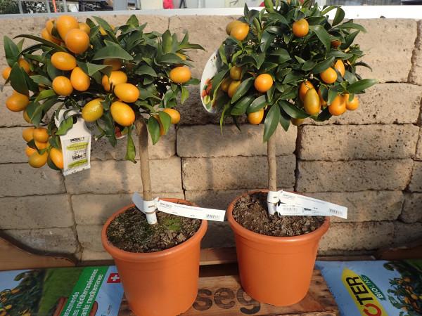 Kumquat Stamm Citrus fortunella