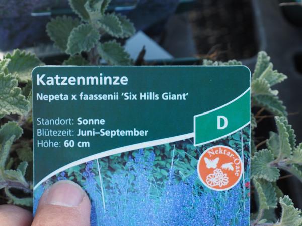 Nepeta x faassenii 'Six Hills Giant' P 1