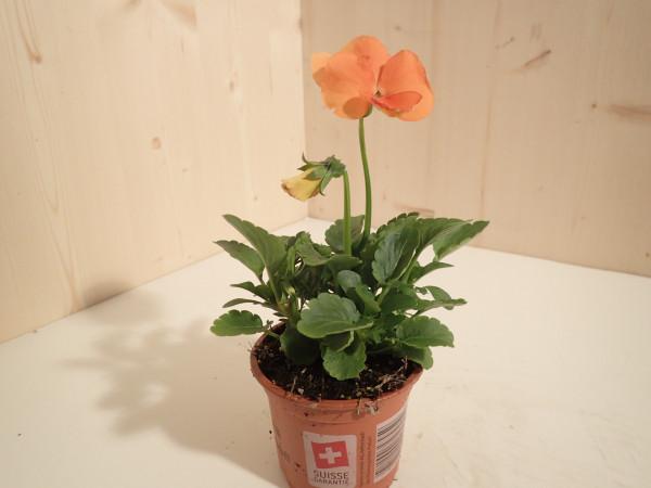 Viola x wittrockiana orange