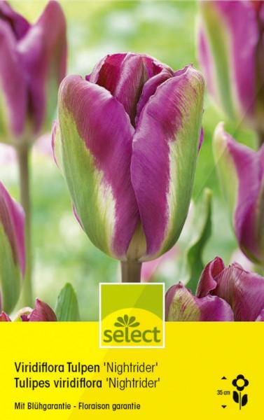 Viridiflora Tulpen 'Nightrider'