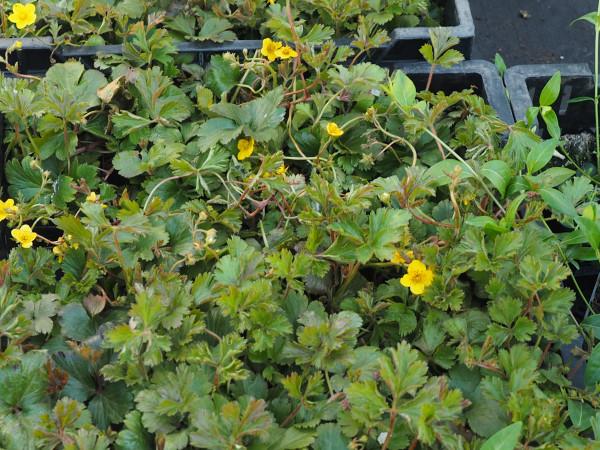 Waldsteinia ternata P 0,5