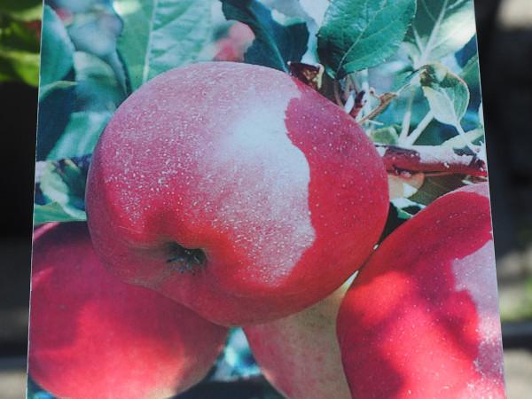 Apfel Galiwa ch101