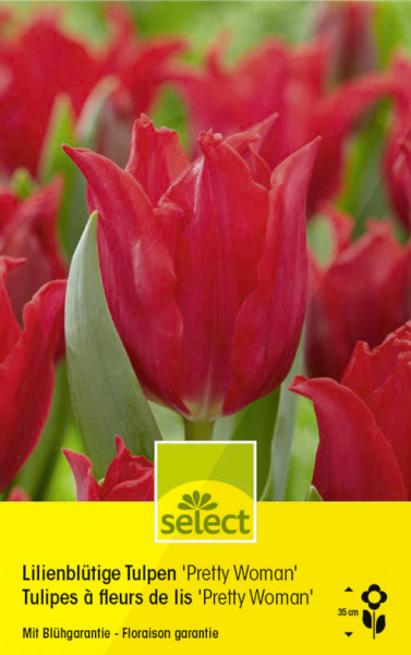 Lilienblütige Tulpen'Pretty Woman'