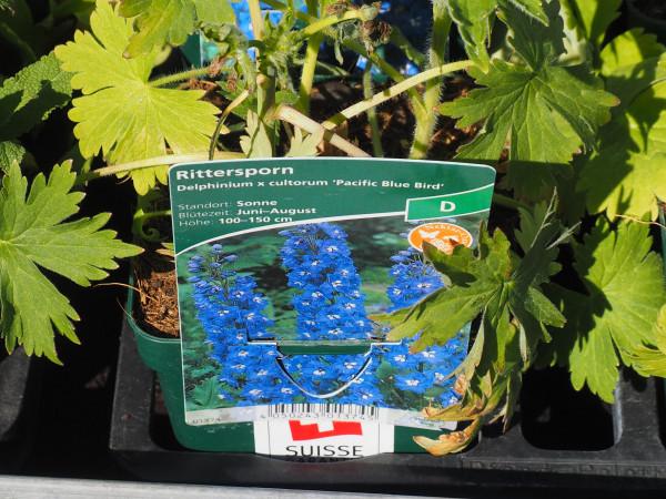 Delphinium Pacific-Hybr. 'Blue Bird' P 1