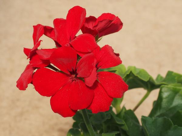 Freiland Geranien Pelargonium Caliope Red