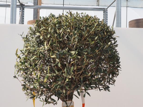 Olive Stamm - Kugel