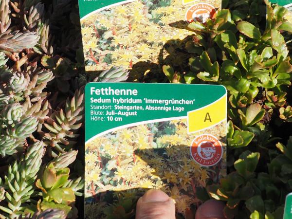 Sedum hybridum 'Immergrünchen'