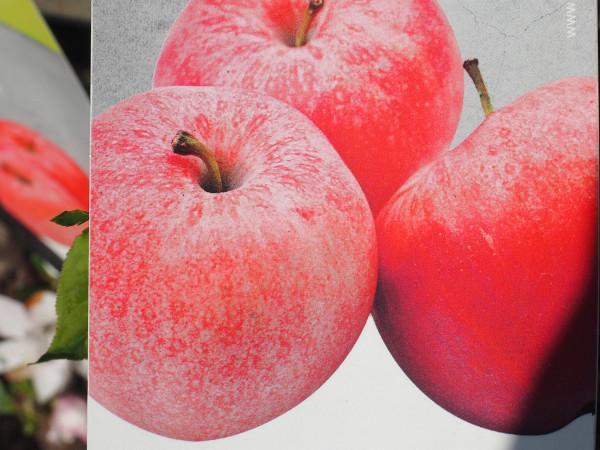 Apfel Mini-Apfel Merlin pidi
