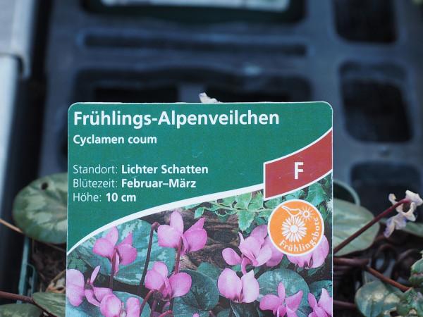 Cyclamen coum, rosa P 1