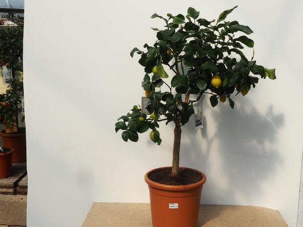 Zitrone Stamm kurz