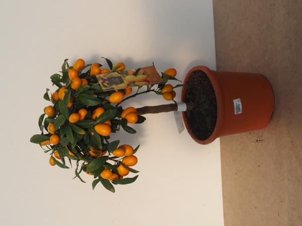 Kumquat Stamm Citrus