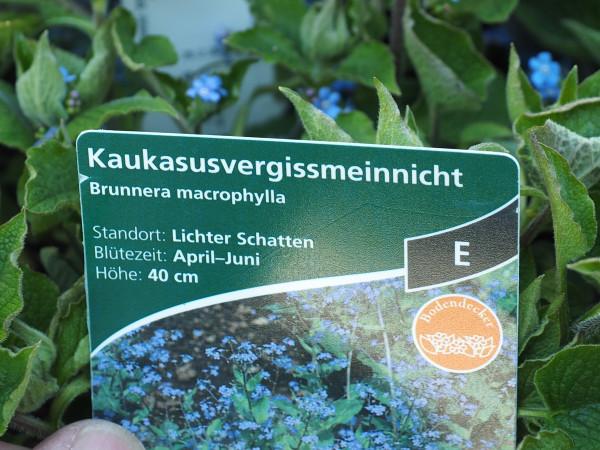 Brunnera macrophylla P 1