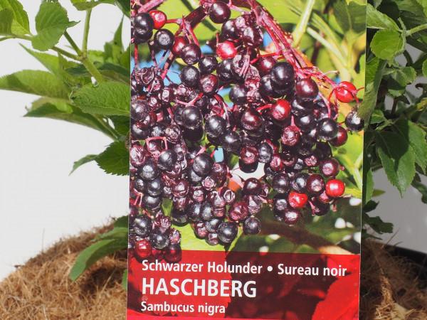 Holunder Schwarzer Holunder Haschberg