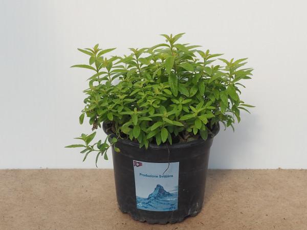 Eisenkraut citriodora (Lippia)