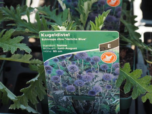 Echinops ritro 'Veitchs Blue'