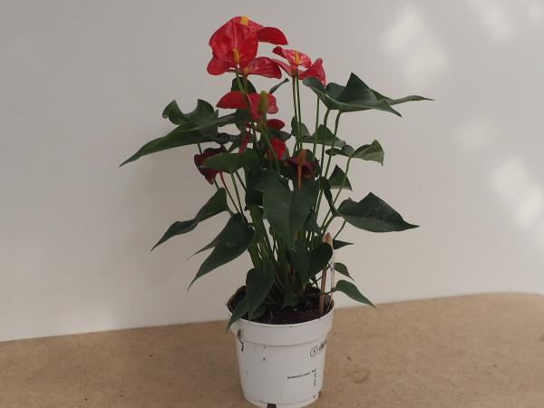Anthurium andr. Red