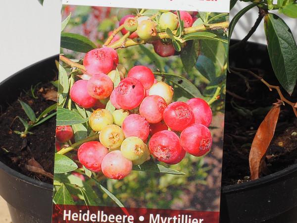 Heidelbeeren Pinkberry Pia