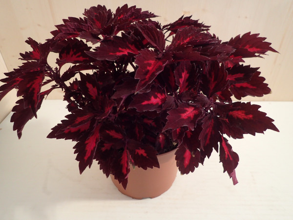 Coleus Royalty