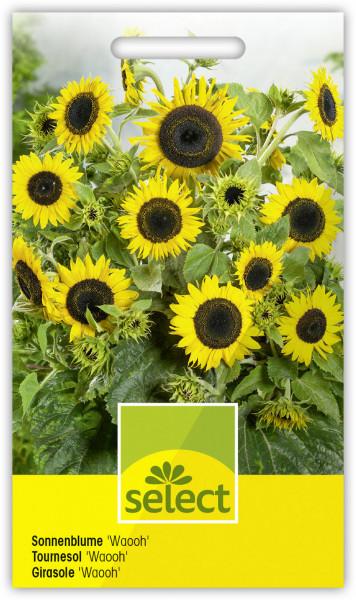Sonnenblume 'Waooh'