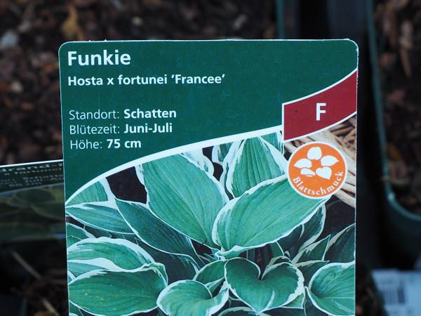 Hosta x fortunei 'Francee' P 1