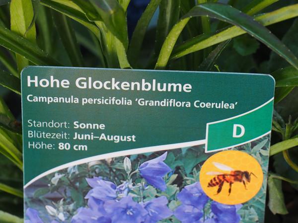 Campanula persicif.'Grandiflora Coerulea' P 1