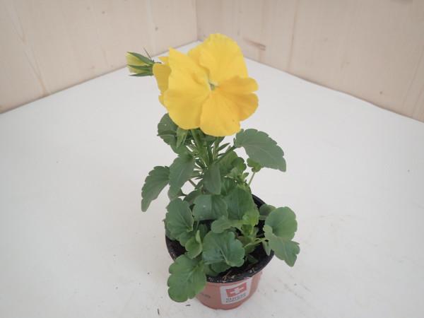 Viola x wittrockiana gelb