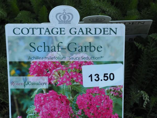 Achillea millefolium 'Saucy Seduction' C 2