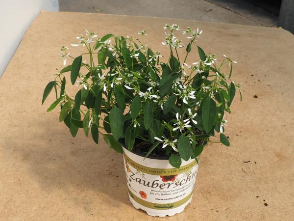 Euphorbia Zauberschnee