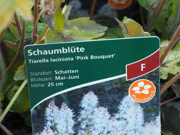 Tiarella laciniata 'Pink Bouquet' P 1