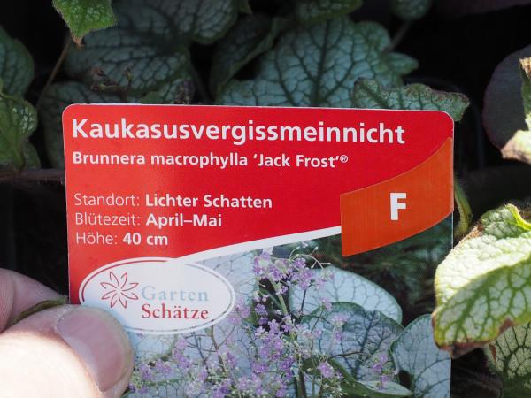 Brunnera macrophylla 'Jack Frost' ® P 1