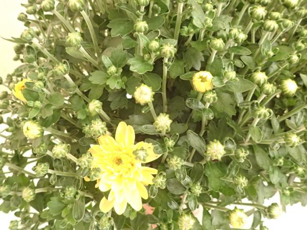 Chrysanthemen gelb