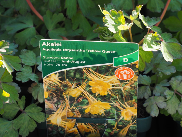 Aquilegia chrysantha 'Yellow Queen' P 1