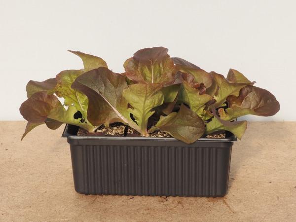 Salat - Eichblattsalat rot