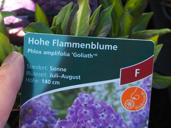Phlox amplifolia 'Goliath' P 1