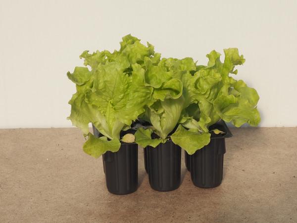 Salat - Lollo Bionda