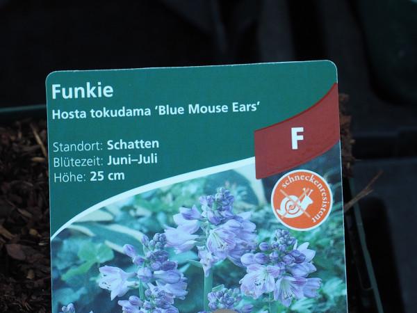 Hosta x tokudama 'Blue Mouse Ears' P 1