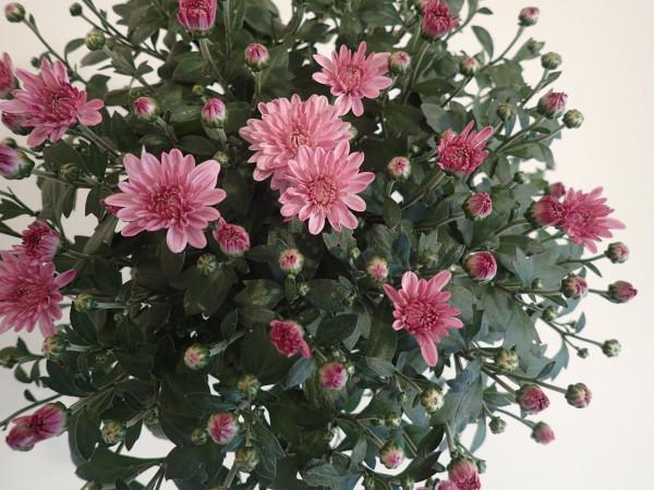 Chrysanthemum indicum 'Gardenmums Rosa'