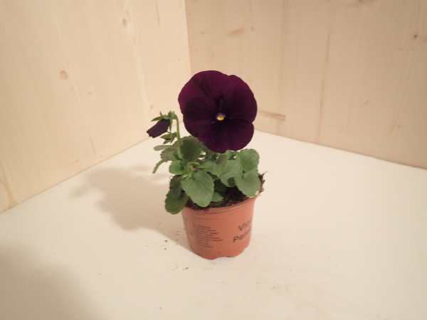 Viola x wittrockiana violett