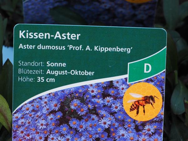 Aster dumosus 'Prof. Anton Kippenberg' P 1