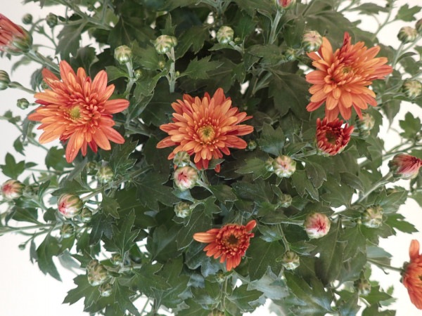 Chrysanthemum indicum 'Gardenmums Bronce'