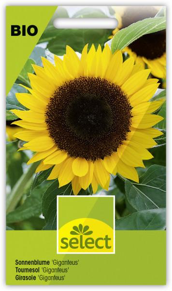 Sonnenblume 'Giganteus'