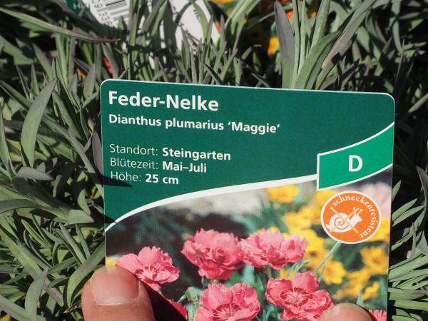 Dianthus plumarius 'Maggie' P 1 #
