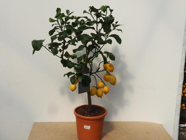 Zitrone Stamm 20 cm